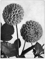 Image of dahlias